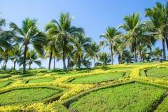 Palmiers de noix de coco sur la colline Photos stock