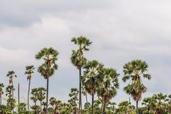 Palmiers de plantation au riz de champ après récolte Photographie stock