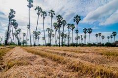 Palmiers de plantation au riz de champ après récolte Image libre de droits