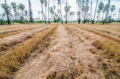 Palmiers de plantation au riz de champ après récolte Photos stock