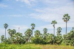 Palmiers de plantation au riz de champ après récolte Images libres de droits