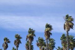 Palmiers de soufflement de vent Image libre de droits