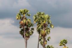 Palmiers de sucre Images stock
