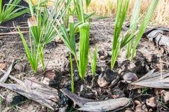 Palmiers de sucre Photographie stock libre de droits