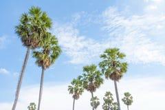 Palmiers de sucre dans le domaine Photographie stock