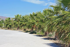 Palmiers en Espagne méditerranéenne Photographie stock