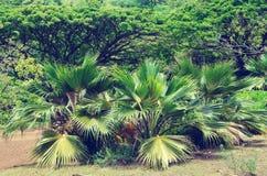 Palmiers en Hawaï (style de vintage) Photo stock