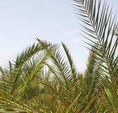 Palmiers en pépinières royalty free stock image