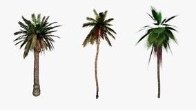 Palmiers entrant dans le vent, alpha inclus pour compositing plus facile, longueur courante illustration stock