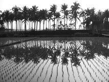 Palmiers et gisements de riz Photographie stock