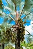 Palmiers et paume de fruit Image stock