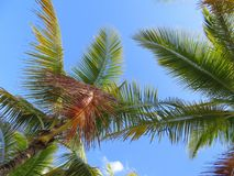 Palmiers et un fond de ciel et blanc bleu de nuage Photographie stock libre de droits