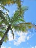 Palmiers et un fond de ciel et blanc bleu de nuage Photographie stock