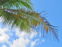 Palmiers et un fond de ciel et blanc bleu de nuage Image libre de droits
