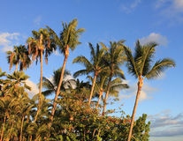 Palmiers hawaïens Photographie stock