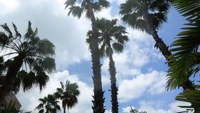 Palmiers magnifiques sur le fond de nuages de ciel bleu et de blanc Île d'Aruba banque de vidéos