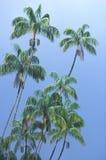 Palmiers sous une pluie tropicale, Singapour Photographie stock