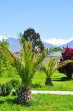 Palmiers sur le fond des montagnes neigeuses dans le secteur d'Adler de Sotchi Photographie stock libre de droits