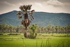 Palmiers sur un gisement vert de riz Image stock