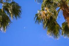 Palmiers très grands Photographie stock libre de droits