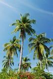 Palmiers tropicaux Photos stock