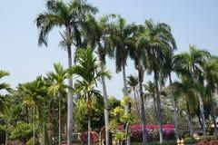 Palmiers tropicaux en Chiang Mai 2019 images libres de droits