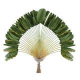 Palminstallatie. Ravenalamadagascariensis Royalty-vrije Stock Foto's