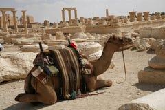 Palmira, Siria. Cammello Fotografia Stock Libera da Diritti