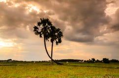 Palmira sul campo Fotografia Stock Libera da Diritti