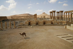 Palmira, Syria. Ruins of an old city. II thousand years BC. The Pearl of Syria. A landscape with a camel Royalty Free Stock Image