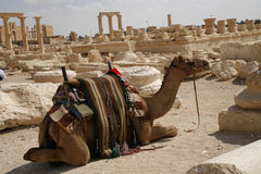 Palmira, Syria. Camel. Palmira, Syria. Ruins of an old city. II thousand years BC. The Pearl of Syria. A landscape with a camel Royalty Free Stock Photography