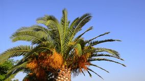 Palmleafs on beautiful bright blue sky, Palm tree gently moves on wind stock footage