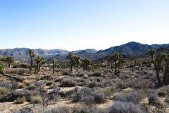 Palmlilja Brevifolia Joshua Tree Desert Landscape royaltyfri fotografi