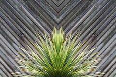Palmlilja- eller kaktusväxtabstrakt begrepp med diagonala plankor av trä i t royaltyfri fotografi