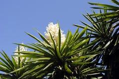 Palmliljaaloifolia royaltyfria foton