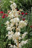 Palmliljablomma Royaltyfria Bilder
