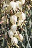 Palmliljablommor Royaltyfria Bilder
