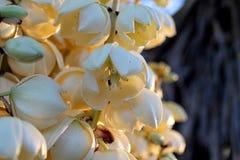 Palmliljablomningar Arkivfoto