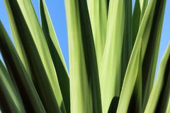 Palmliljan lämnar mot en blå himmel arkivfoto