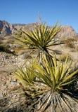 Palmliljaträd i bergen, Joshua Tree National Park Royaltyfria Foton