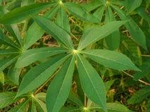 Palmliljaväxt Arkivbilder