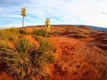 Palmliljaväxt med blommor på sandstenökenlandskap i Escalante, Utah royaltyfri fotografi