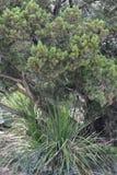 Palmliljaväxt under ett cederträträd royaltyfri bild