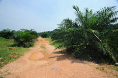 Palmolie Stock Afbeelding