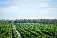 Palmolieaanplanting Royalty-vrije Stock Foto's