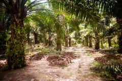 Palmolieaanplanting Stock Afbeelding