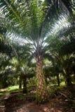 Palmolieaanplanting Stock Fotografie