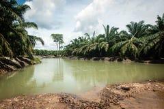 Palmolieaanplanting Stock Afbeeldingen