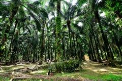 Palmolieaanplanting in Maleisië Royalty-vrije Stock Foto's