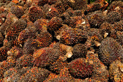 Palmolieproductie in Maleisië Royalty-vrije Stock Fotografie